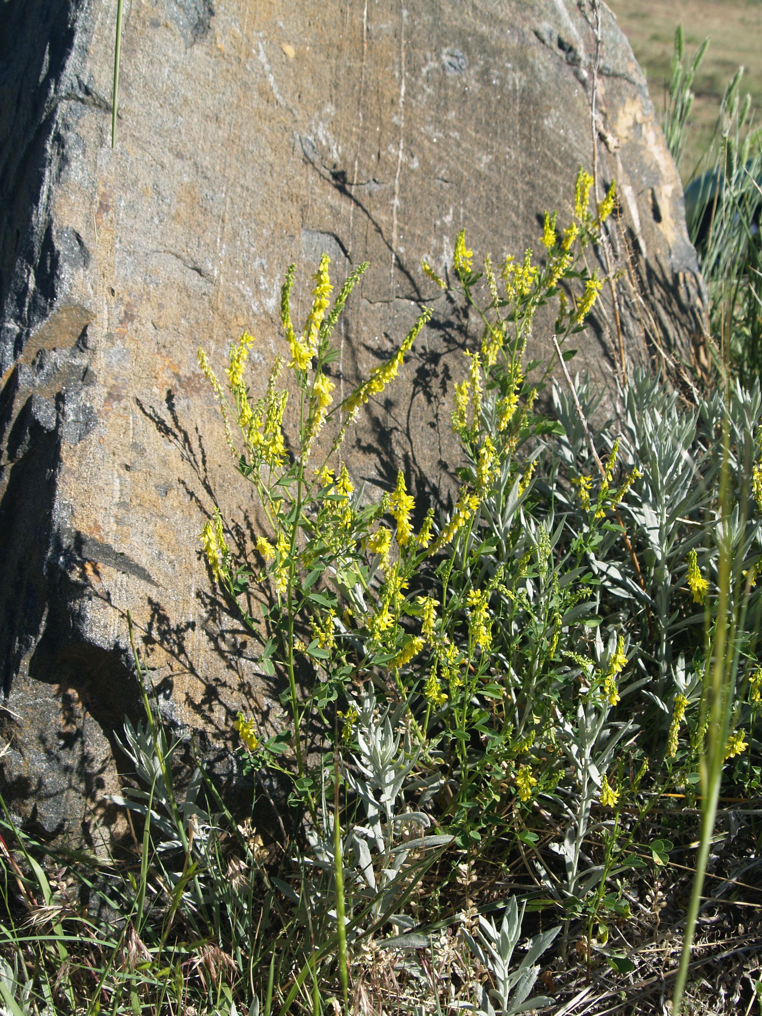 Geography of colorado wildlife unlike yellow sweet clover 2edited 1 mightylinksfo
