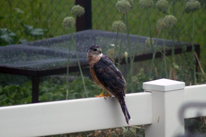 Coopers hawk-4_edited-2