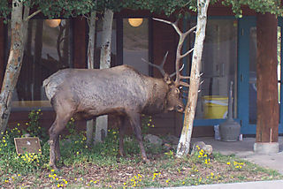 Bull elk rubbing antlers-1_edited-1