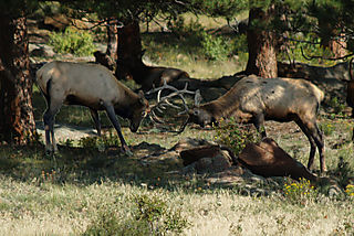 Sparring elk-3_edited-1