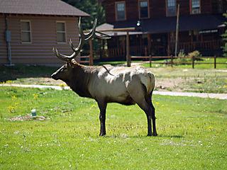 Bull Elk YMCA-2