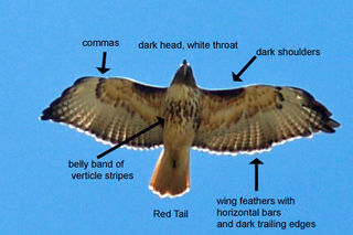 Labled red-tailed hawk