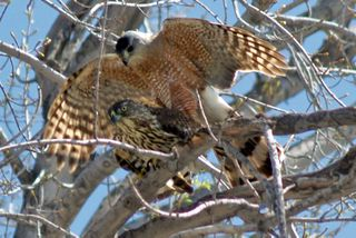 Coopers hawks mating-09